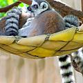 Ring-tailed Lemur by Mary Deal