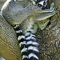 Ring-tailed Lemurs Madagascar by Cyril Ruoso