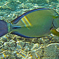 Ringtail Surgeonfish by Michael Peychich