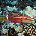 Ringtail Wrasse by Dave Fleetham