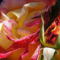Rio Samba Rose And Bud by Mick Anderson