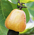 Ripe Cashew Nut by David Nunuk