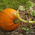 Ripe Pumpkin by Louise Heusinkveld