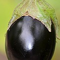 Ripened Eggplant by Maria Urso
