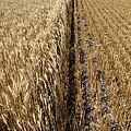 Ripened Wheat And Stubble In Saskatchewan Field by Mark Duffy
