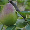 Ripening Pear In Tree by Mick Anderson