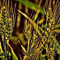 Ripening Wheat by David Patterson