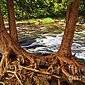 River And Roots by Elena Elisseeva