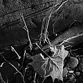 River Bed Sycamore Leaf by Michael Dougherty