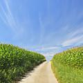 Road Through Cornfield by Raimund Linke