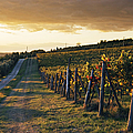 Road Through Vineyard by Jeremy Woodhouse