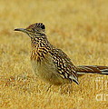 Roadrunner Hen by Robert Frederick