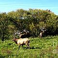Roaming Elk  by The Kepharts