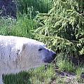 Roaming Polar Bear by Don Downer