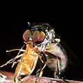 Robber Fly Feeding On A Cockroach by Dr Morley Read
