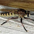 Robber Fly by Kristin Elmquist