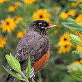 Robin Among Flowers by Doris Potter