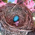 Robin bird - nest and egg