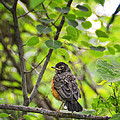 Robin In The Woods by Peg Runyan