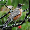 Robin by Living Color Photography Lorraine Lynch