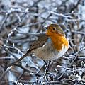 Robin On A Frosty Morning by Andrew  Michael