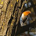 Robin On Tree by Andrew  Michael