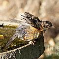 Robin Shaking Water Off by Lori Tordsen