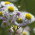 Robin's Plantain - Alabama Wildflowers by Kathy Clark