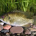 Rock Bass by Ted Kinsman