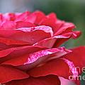 Rock N Roll Rose by Susan Herber