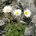 Rock-plant Daisy (bellis Margaraetifolia) by Bob Gibbons