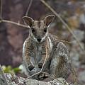 Rock Wallaby V2 by Douglas Barnard