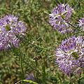 Rocky Mountain Bee Plant by Ernie Echols
