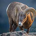 Rocky Mountain Big Horn Ram by Ronald Lutz