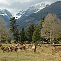 Rocky Mountain Elk by Lynn Bauer