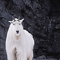 Rocky Mountain Goat by Darwin Wiggett