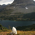 Rocky Mountain Goat by Michael Elam