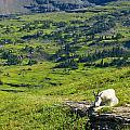 Rocky Mountain Goat Glacier National Park by Rich Franco