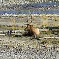 Rocky Mountains Elk by Teresa Zieba