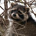 Rocky Raccoon by Guy Whiteley