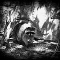 Rocky Raccoon by Marilyn Wilson