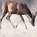 Roe Buck - Winter by Mark Adlington