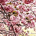 Romantic Cherry Blossoms by Georgiana Romanovna