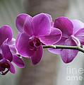 Romantic Purple Orchids by Carol Groenen