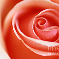 Romantic Rose by Jinfeng Shi