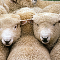 Romney Sheep by Gregory G Dimijian and Photo Researchers