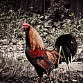 Rooster Red by Jessica Brawley