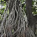 Roots From A Large Tree Inside Jallianwala Bagh by Ashish Agarwal