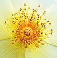 Rosa Golden Wings by Bel Menpes