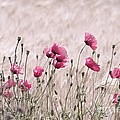 Pink Poppy Field  by Tanja Riedel